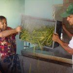 Etuvage de la vanille bourbon à la plantation Roulof de Saint-André