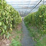 Visite de la plantation de vanille à St-André